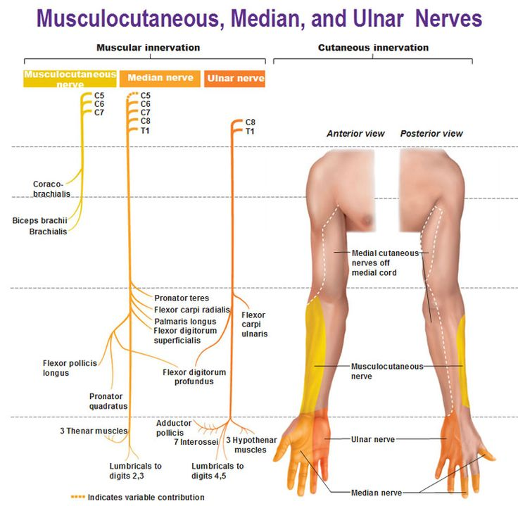Musculocutaneous median ulnar nerves muscular and cutaneous innervation.