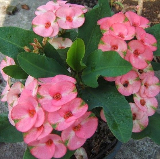 SALE! Euphorbia Milii RAINBOW Crown Of Thorns Corona de Cristo Cacti/Succulents #Unbranded