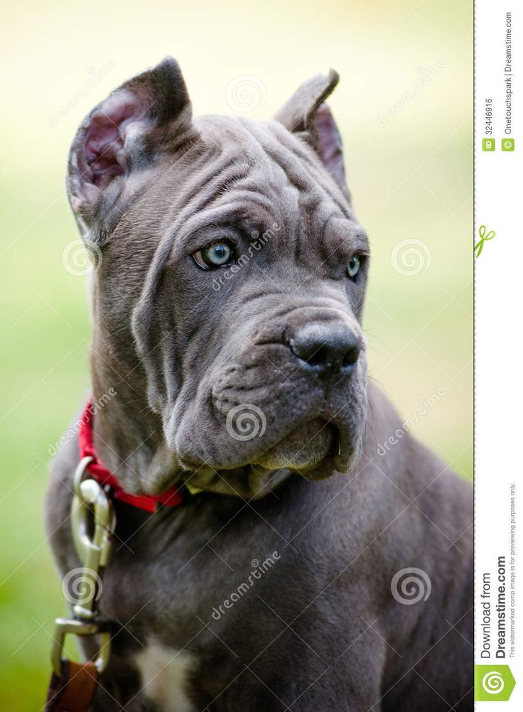 26 best corso images on pinterest cane corso puppies cane corso cane corso rare colors images pictures becuo malvernweather Image collections
