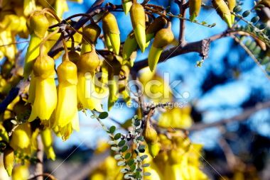 Kowhai Bloom, Spring Royalty Free Stock Photo