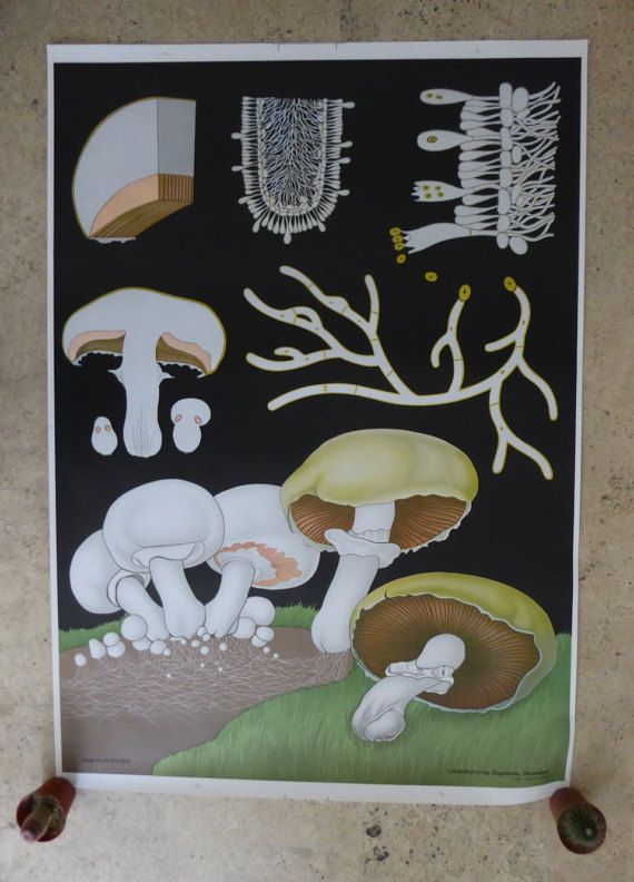 Lovely original authentic wild meadow mushroom vintage school chart published by Jung-Koch-Quentell. These edible mushrooms are most commonly known in North America as the button mushroom. This particular chart depicts the growth and detailed structure of this tasty fungi. ∆ Dimensions: 33 wide (84 cm) x 46.8 tall (119 cm)  ∆ Condition: Pristine  This particular chart is in pristine condition, free of tears, creases, or stains. Shipping: -We are able to do combined shipping: multiple charts…