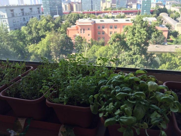 Как вырастить пряные травы на балконе - Кулинарные идеи - Леди Mail.Ru