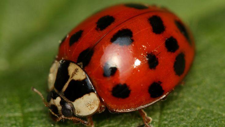 Franek I Jego Wedrowki Obsiadaja Okna Wchodza Do Mieszkan Biedronki A Ladybird Free Pictures Your Pet