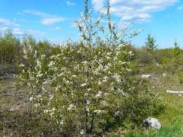 Image result for wild pincherry trees