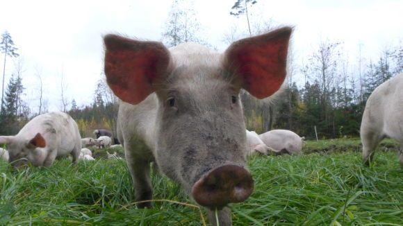 Karsinasta kauppaan on interaktiivinen dokumentti suomalaisista sikaloista ja hautomoista.