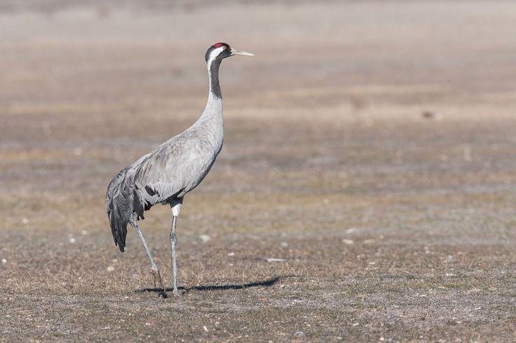 Kraanvogel/Common Crane (Grus grus) at the Laguna De Gallocanta, Spain