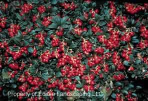 koralle lingonberry vaccinium vitis ideaea ground cover leading commercial variety for its. Black Bedroom Furniture Sets. Home Design Ideas