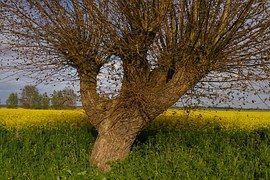 Tree, Weidenbau, Pasture, Edge Of Field