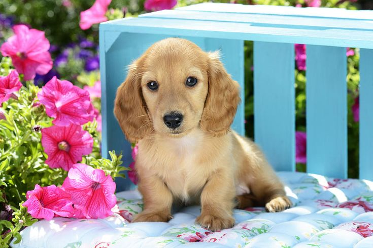Puppy Photograph - Long Eared Puppy In Front Of Blue Box by Greg Cuddiford