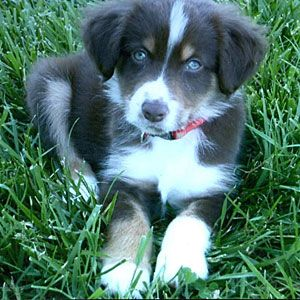 Meet 10 adorable dogs | Buddy, 5, Miniature Australian Shepherd | AllYou.com