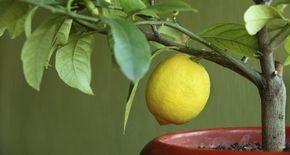 Come coltivare limoni in vaso: cure, concimazioni, malattie, potatura, varietà più indicate e tanti consigli per coltivare il limone in vaso.