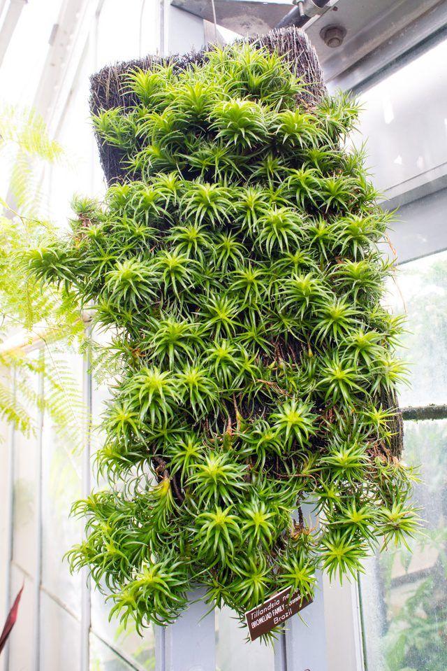 best 25 air plants care ideas on pinterest air plants caring for air plants and air care. Black Bedroom Furniture Sets. Home Design Ideas