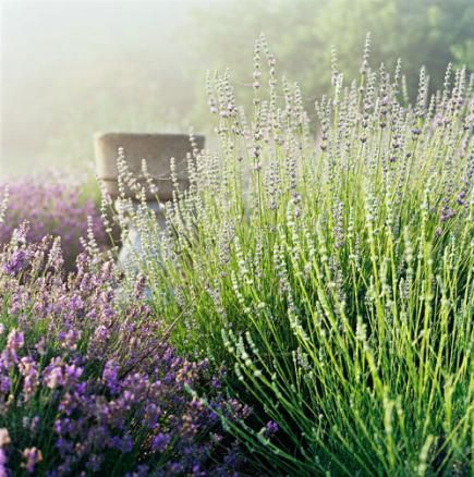 ladies coats on sale Tips for Growing Cooking and Decorating with Lavender