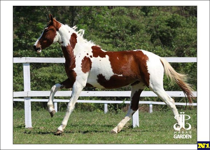 Mangalarga à venda no N1 Cavalos