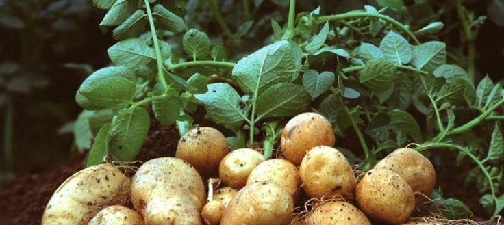 Ученые занялись «марсианским картофелем» http://apral.ru/2017/04/26/uchenye-zanyalis-marsianskim-kartofelem/  Команда ученых мирового класса будет выращивать картофель для марсианских условий, а также для борьбы с голодом на нашей планете. Эксперимент, [...]