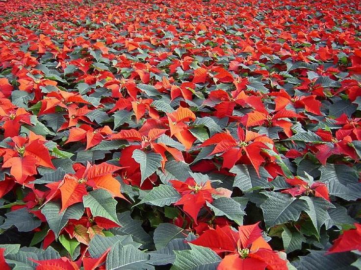 Field of poinsettias