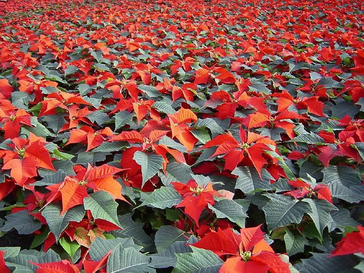 valentine red poinsettia