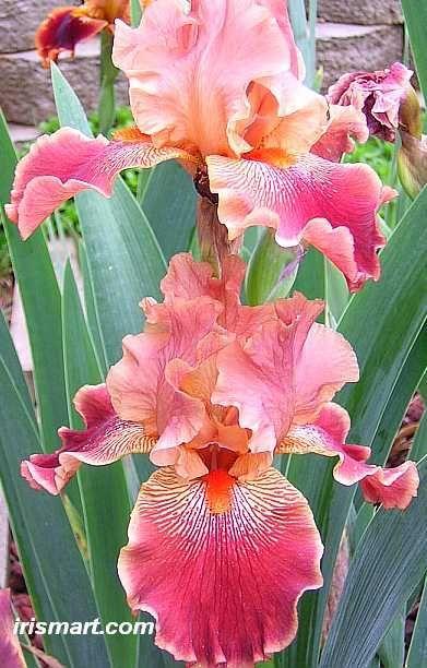 Tall Bearded Iris 'Art Show' (Iris germanica). Lovely colour/Pia