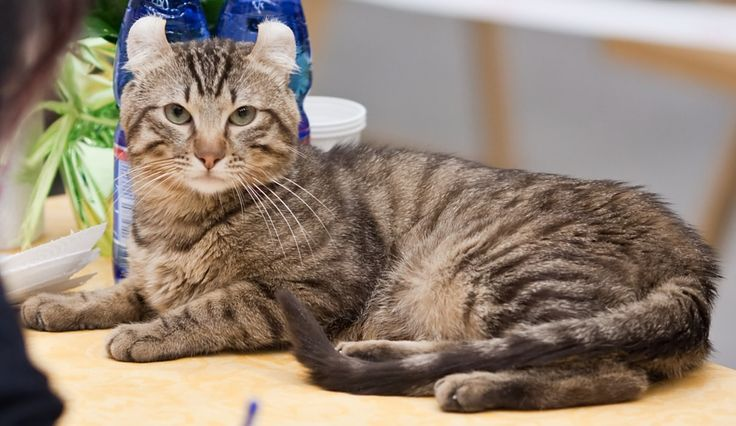 American Curl - who took a curling iron to those ears?  http://catsandmusic.com