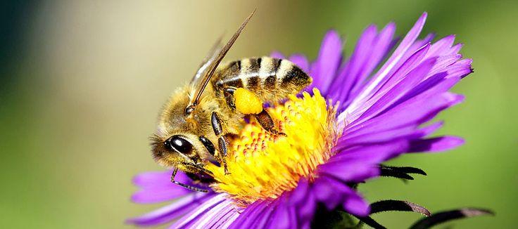 Was man sofort tun sollte, wenn man von einer Biene gestochen wurde, was gegen die Schwellung wirkt und welche Behandlung Allergikern hilft.