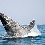 A humpback whale breaching at the Sardine Run