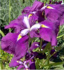 Iris ensata Royal Banner