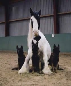 Very unique photo... a horse with its own body guards. Fantastic ~ German Shepherds & Gypsy Varner
