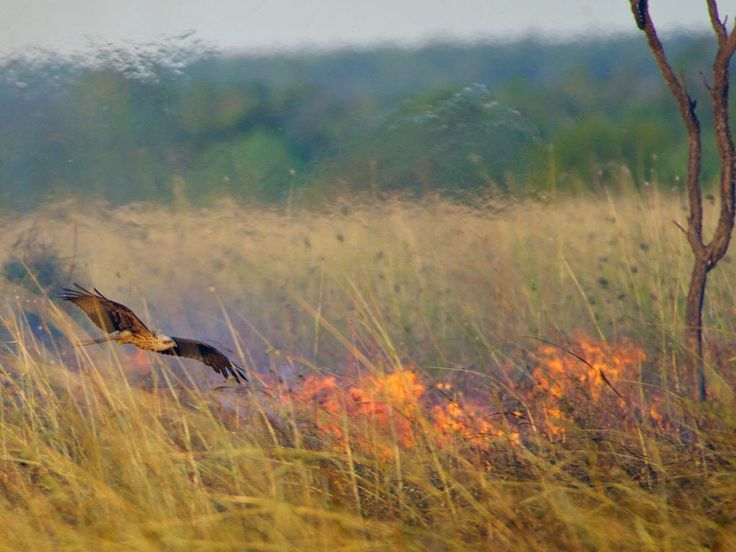 Raptors, including the whistling kite, are intentionally spreading grass fires in northern Australia, a research paper argues. The reason: to flush out prey and feast