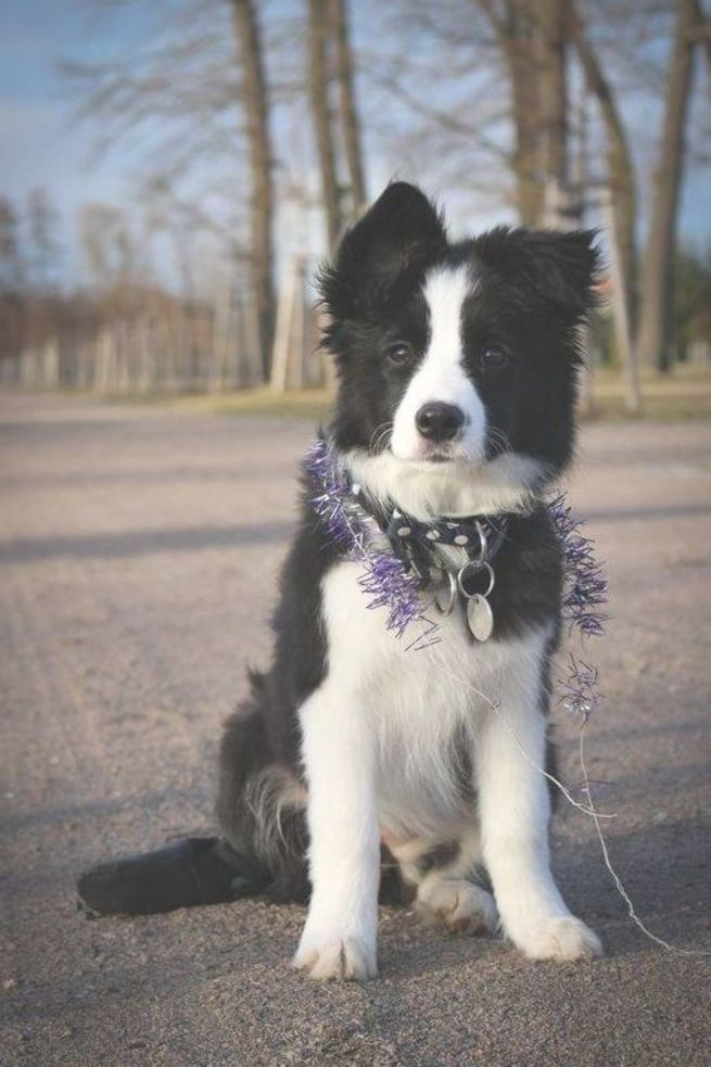 Get Healthy And Ethically Bred Border Collie Puppies For Sale Border Collie Dogs For Adoption In Collie Puppies For Sale Border Collie Puppies Collie Puppies