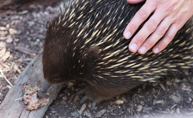 Our shy little echidnas will fascinate you in this truly unique encounter. You'll learn from our Rangers how echidnas feed, as well as being able to pat our spiky friends.  Book now! here;https://www.zoo.org.au/healesville/wild-encounters/close-up-encounters