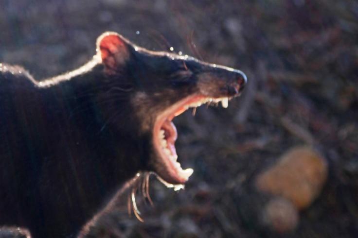Tasmanian Devil, Tasmania, Australia by Izzy Unger, M.D.
