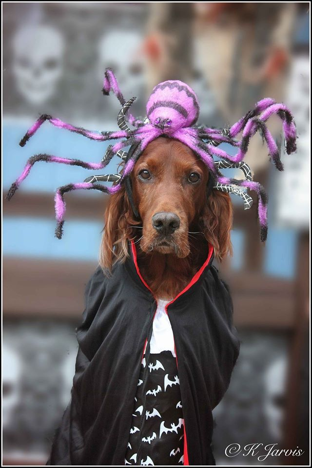 Irish Setter. K.Jarvis. Simba The Spider King!