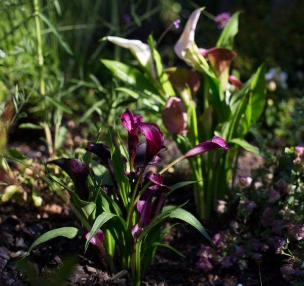 La cala pertenece a la familia de las aráceas. Su nombre científico esZantedeschia aethiopica en honor al botánico italianoG. Zantedeschi. Se la conoce comúnmente como alcatraz, cala, cala de Etiopía, aro de Etiopía, lirio de agua, cartucho, flor de pato o flor del jarro. Es una planta originariade África meridional. Lo que normalmente consideramos la flor de la cala es en realidad un órgano similar a los pétalos que rodea el espádice que es donde se agrupan en realidad las pequeñas…