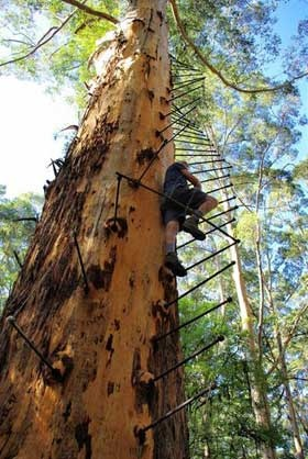Tree Climb in Pemberton (Australia)