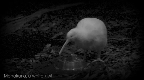 manakura, a white kiwi.  She was in pretty much total darkness, so I was pleasantly surprised that the photo is bright enough to see.