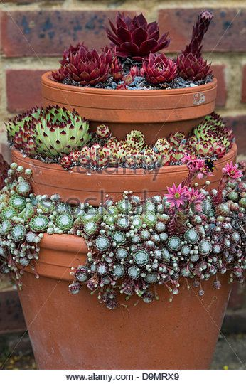 Sempervivum. Houseleek display in flower pots at RHS Wisley Gardens. England - Stock Image