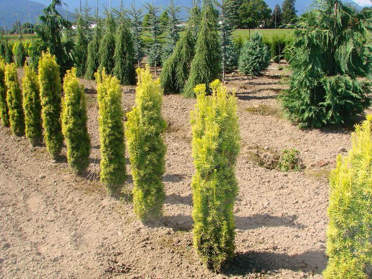 Golden Irish Yew Taxus bac fastigiata Aurea Vancouver