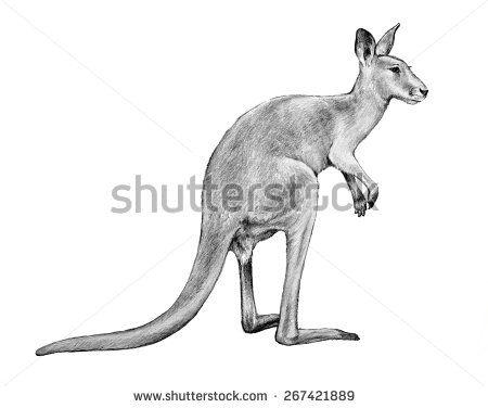 Kangaroo pencil sketch. Hand drawn kangaroo illustration isolated on white background.