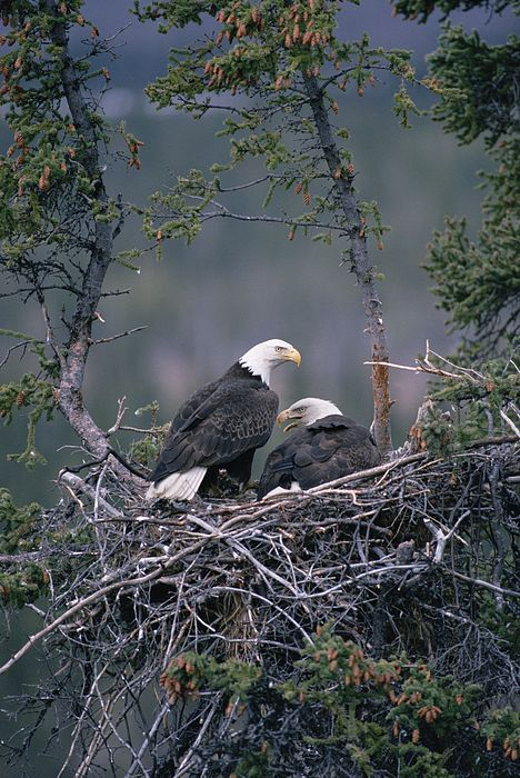 beauty-rendezvous: Bald Eagle pair on nest, Alaska (by Michael Quinton / Fine Art America)