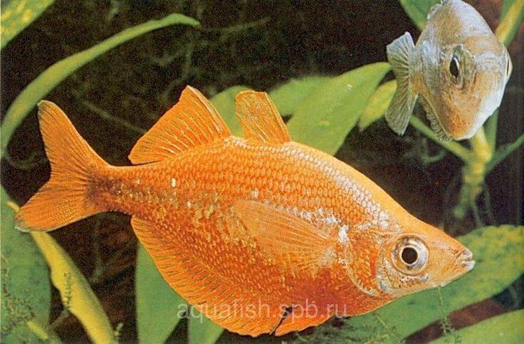 Glossolepis incisus (Red Rainbowfish)