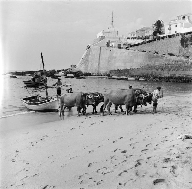 Uma frota de pesca regressa à praia da Ericeira. Portugal.