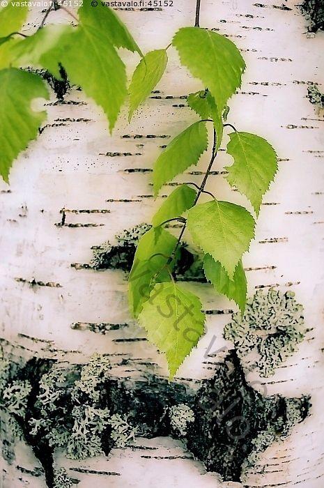 vihreät lehdet - koivu tuohi puu puunkylki kylki tuohi lehti riippakoivu rauduskoivu betula pendula kevät