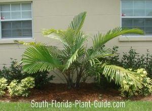 Arenga Palm along side of house