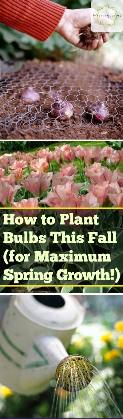 How to Plant Bulbs This Fall (for Maximum Spring Growth!) -