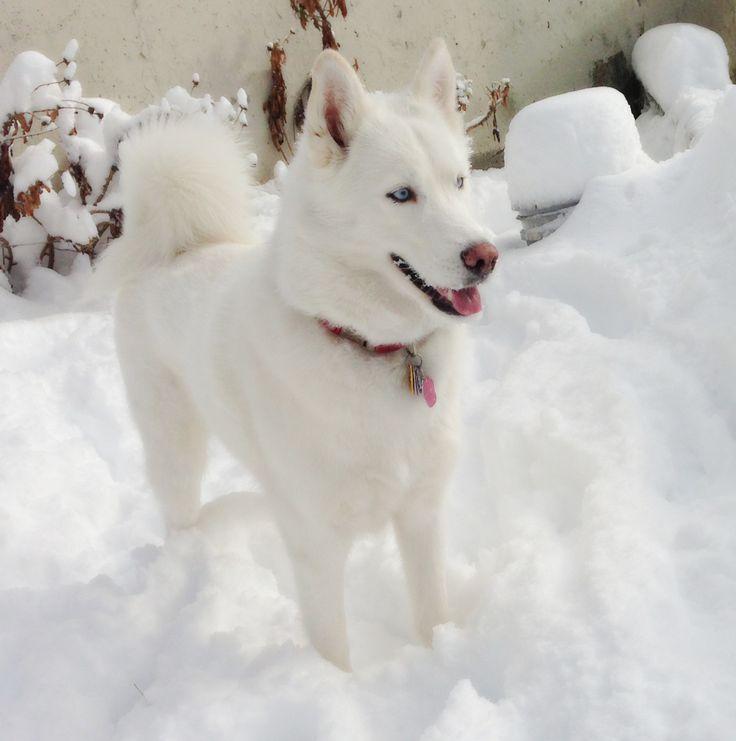 Best 25+ Siberian husky funny ideas on Pinterest | Cute ...
