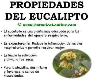 Propiedades del eucalipto, beneficios eucaliptus