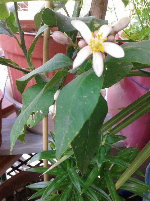 limonum  çiçek acti