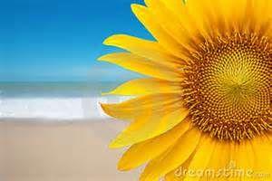 Sunflower on the beach.