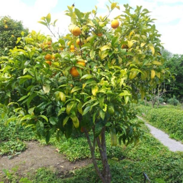 Orange tree, Botanical Gardens, Gijón - #saboreandogijon