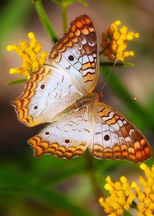Bela borboleta Mais